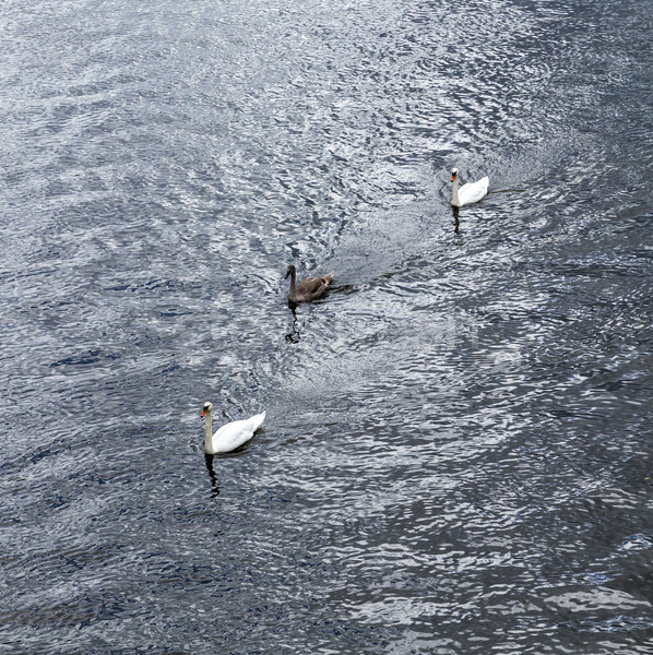 swan with family swims at triver Rhine Stock photo © meinzahn