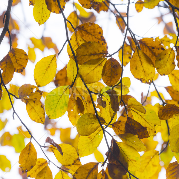 leaves in fog at the tree in indian summer colors Stock photo © meinzahn