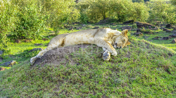 lion relaxes in Masai Mara National Park. Stock photo © meinzahn