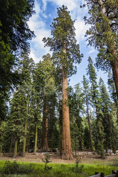 Duży piękna sekwoja parku wysoki drzewo Zdjęcia stock © meinzahn