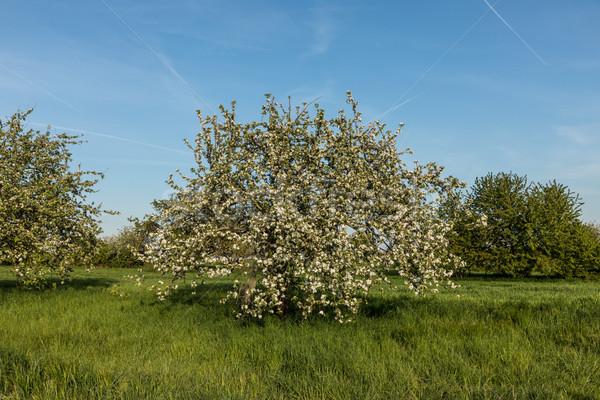 Virágzó alma fák tavasz zöld legelő Stock fotó © meinzahn