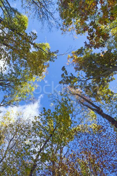 crown of oak trees in autumn Stock photo © meinzahn