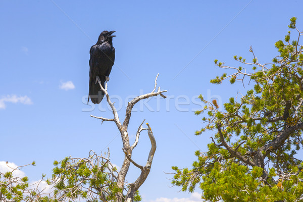 Raaf boom grand Canyon vogel vogels Stockfoto © meinzahn