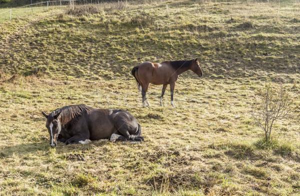horse at a meadow  Stock photo © meinzahn