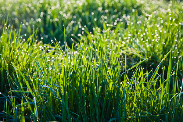 fresh grass with dew drops in the morning Stock photo © meinzahn
