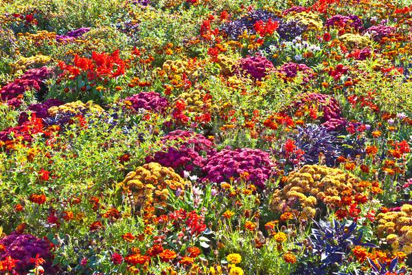 Színes virágágy virág természet nyár mező Stock fotó © meinzahn