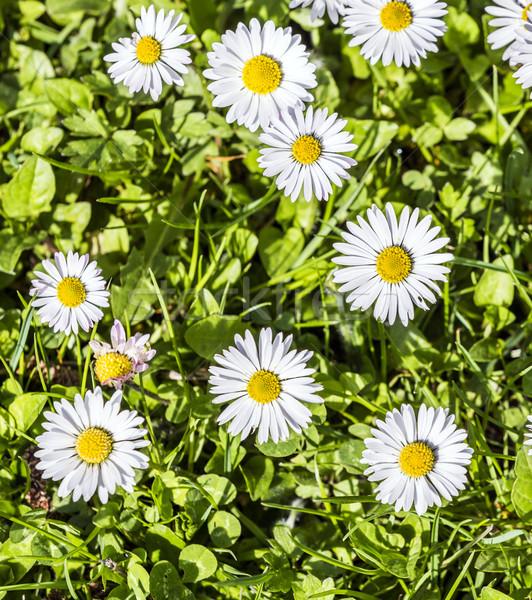 Margaridas prado verde primavera tempo Foto stock © meinzahn