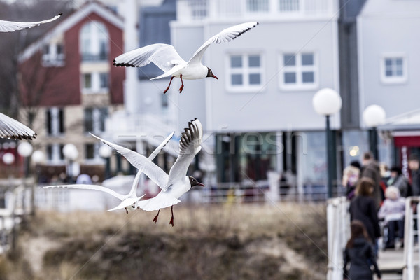 seagull at the coast flying and shrieking   Stock photo © meinzahn