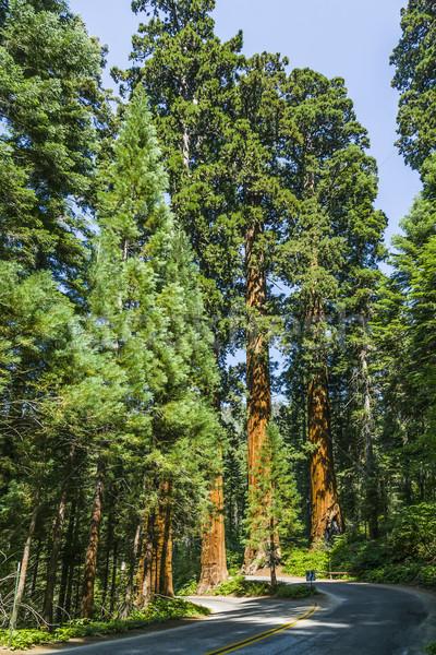 famous big sequoia trees Stock photo © meinzahn