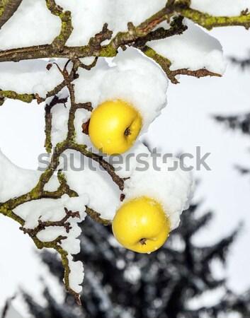 зрелый яблоки подвесной филиала покрытый первый Сток-фото © meinzahn