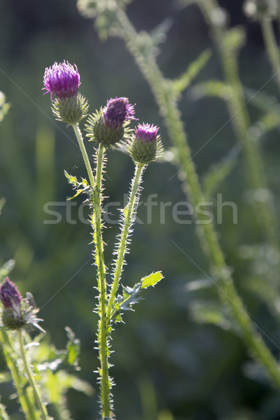 blooming thistle in the meadow Stock photo © meinzahn