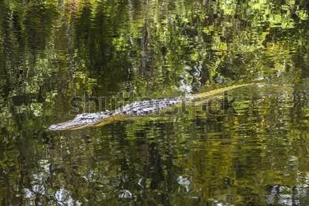 Stock fotó: Aligátor · úszik · Florida · tavacska · részben · felhős