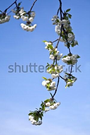 Közelkép ág virágzik tavasz fehér égbolt Stock fotó © meinzahn
