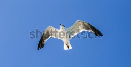 Mewa Błękitne niebo świetle ptaków niebieski prędkości Zdjęcia stock © meinzahn