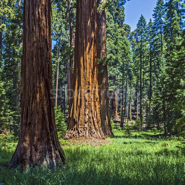 Sekwoja drzewo lasu słynny duży drzew Zdjęcia stock © meinzahn