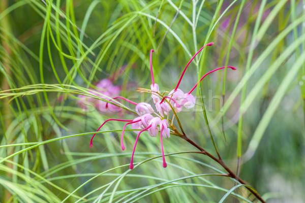 Tropicales floraison araignée fleur sweet rose Photo stock © meinzahn