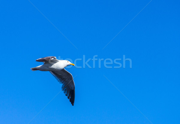 seagull flying in the blue sky Stock photo © meinzahn