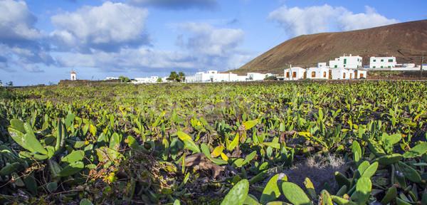 green cactus field with village in background Stock photo © meinzahn