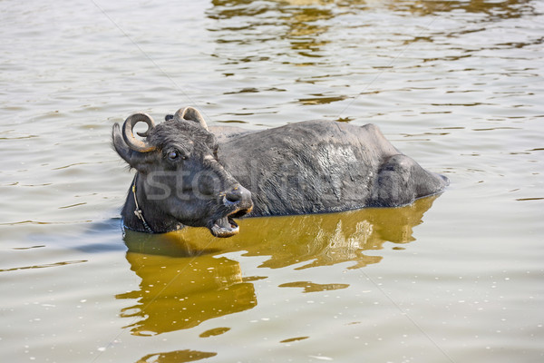 water buffalo relaxes in the lake Stock photo © meinzahn
