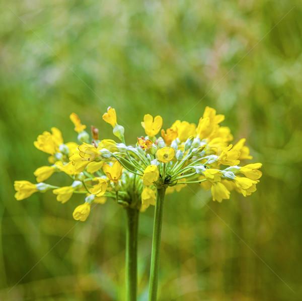 Gyönyörű citromsárga tehén cédula virág legelő Stock fotó © meinzahn