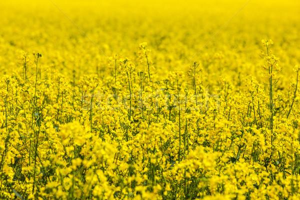 Patrón amarillo violación campo cielo flor Foto stock © meinzahn