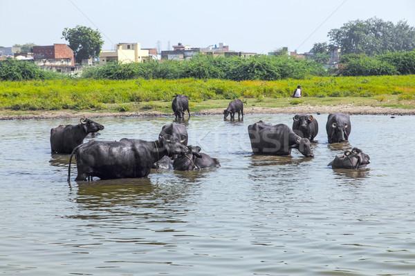 water buffalo relaxes in the lake Stock photo © meinzahn