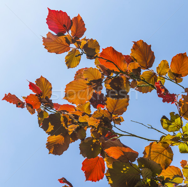 Shallow focus on bright red leaves and clear blue sky  Stock photo © meinzahn