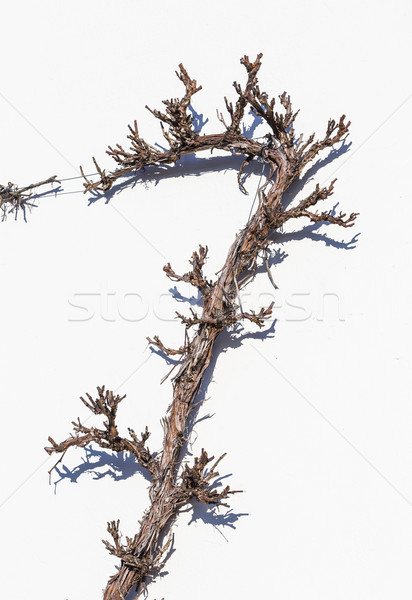 Bitki beyaz ev duvar şarap model Stok fotoğraf © meinzahn