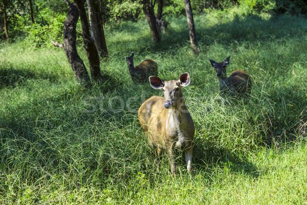 antelope in Sariska national Park in India Stock photo © meinzahn
