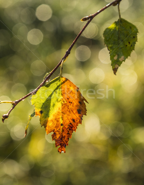 Multicolored leaves of a tree in indian summer Stock photo © meinzahn