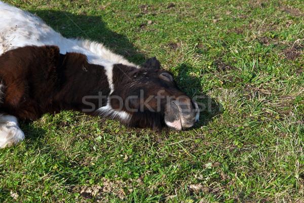 Cabeza caballo pradera hierba campo verde Foto stock © meinzahn