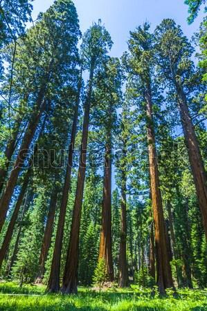 Wysoki duży piękna sekwoja parku słońce Zdjęcia stock © meinzahn