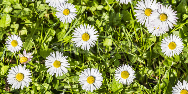 Daisies in a meadow, close-up  Stock photo © meinzahn