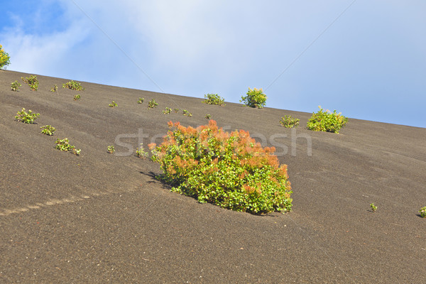 sparse vegetation on volcanic hills in Timanfaya National Park w Stock photo © meinzahn