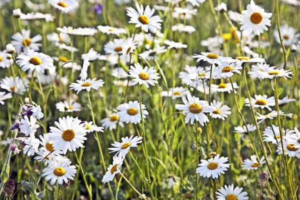 beautiful daisies in morning lig Stock photo © meinzahn