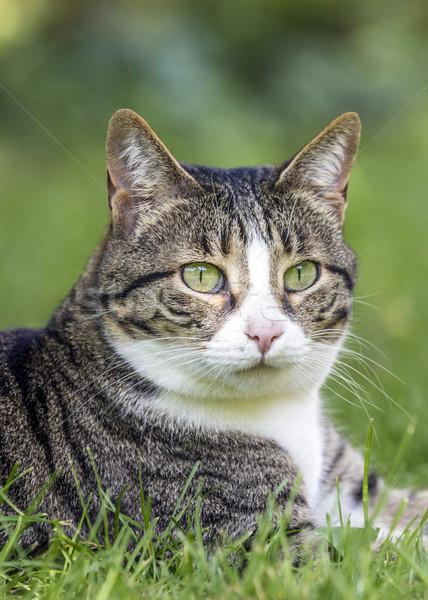 Cat lies on the grass  Stock photo © meinzahn