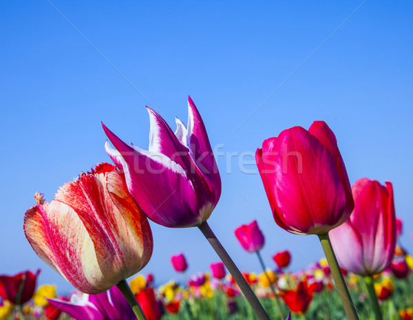 field with blooming colorful tulips Stock photo © meinzahn
