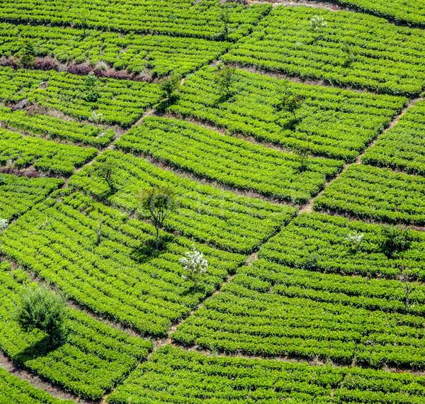 зеленый чай плантация Шри Ланка работу природы деревья Сток-фото © meinzahn