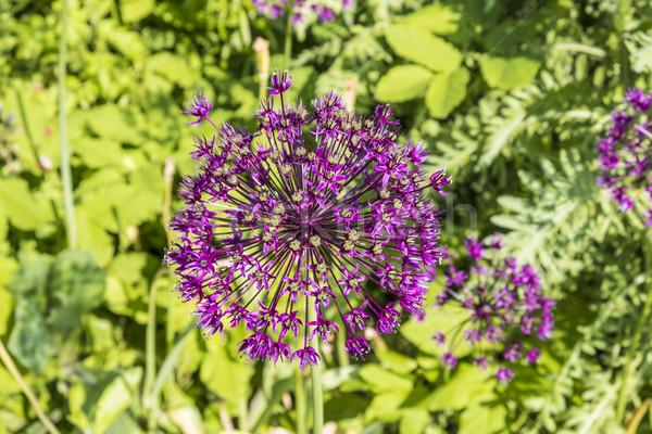 Purple flower of allium gladiator   Stock photo © meinzahn