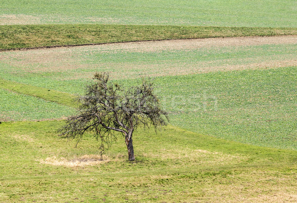 old apple tree stands alone at the meadow Stock photo © meinzahn