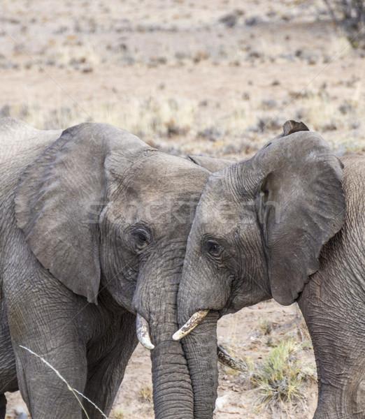 Слоны саванна парка воды любви природы Сток-фото © meinzahn