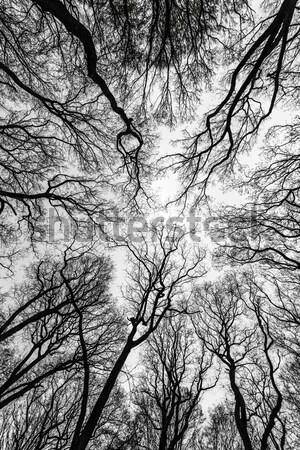 Spring tree crowns with old leaves on deep blue sky Stock photo © meinzahn