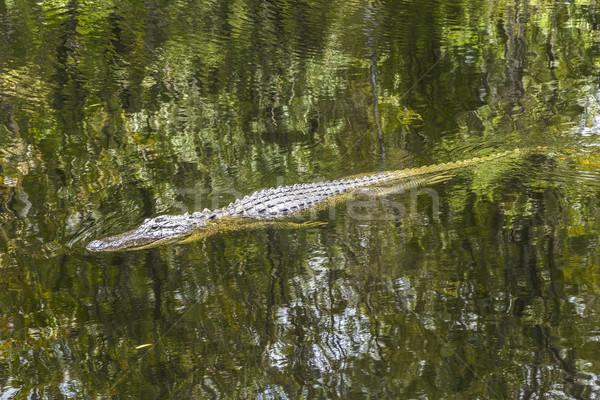 alligator swimming in florida wetland pond  Stock photo © meinzahn
