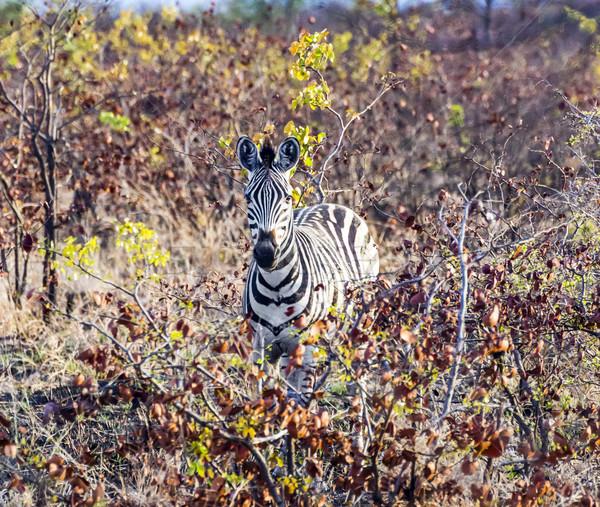 シマウマ 見える 自然 背景 アフリカ ストックフォト © meinzahn