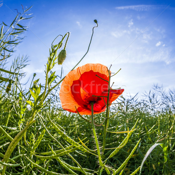 poppy flower in meadow in morning light Stock photo © meinzahn