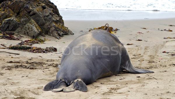 male Seelion at a beach  Stock photo © meinzahn