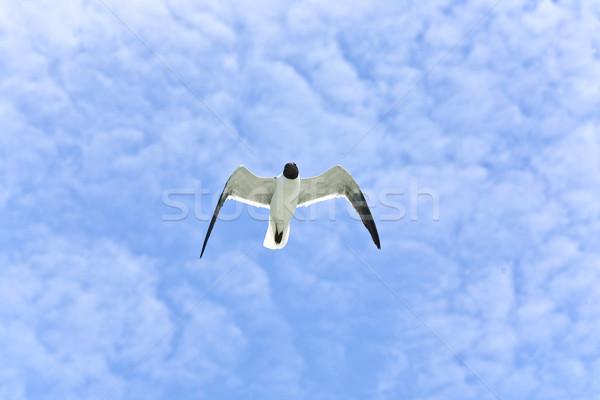 Foto stock: Voador · gaivotas · oceano · céu · pássaro · azul