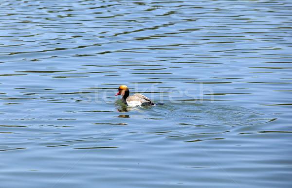 Anatra famiglia lago acqua animali Foto d'archivio © meinzahn