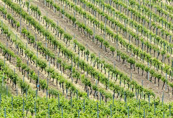 vineyards abstract Stock photo © meinzahn