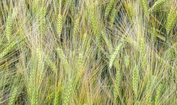 detail of field landscape  in the Eifel Stock photo © meinzahn